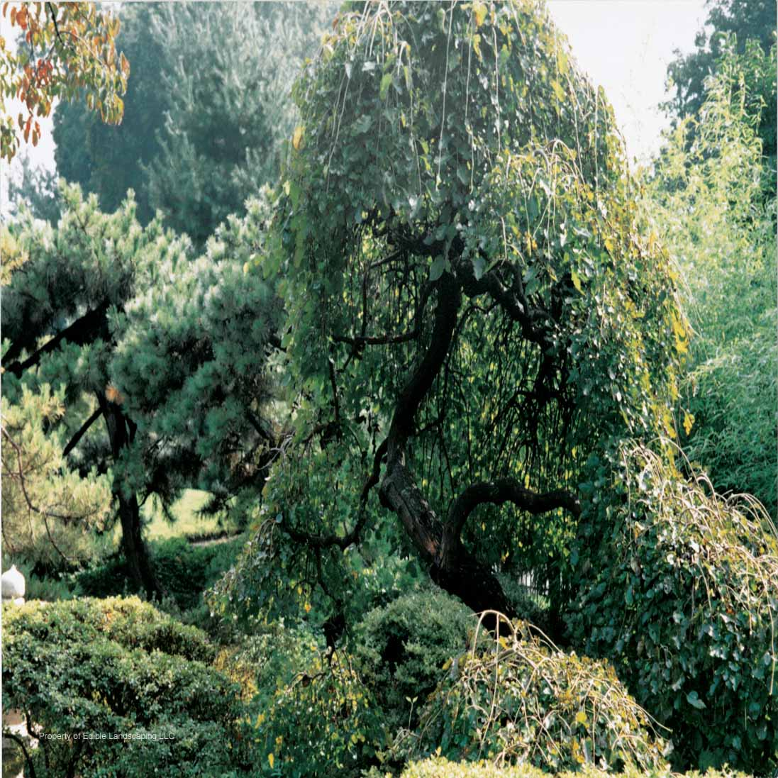 Mulberry edible landscaping mulberry weeping in the landscape sciox Image collections