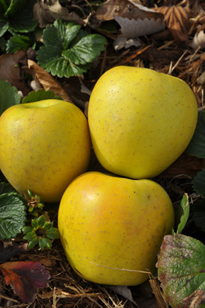 Apple Gold Rush Fruits