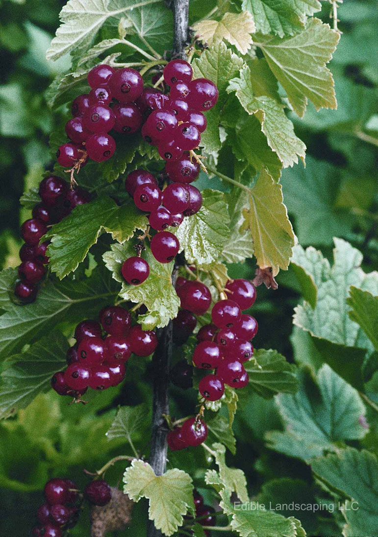 Currant Red Cherry 2