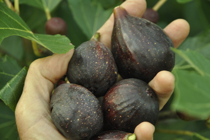 Fig Petite Negri 2013 four ripe figs