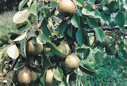 Pears Magness