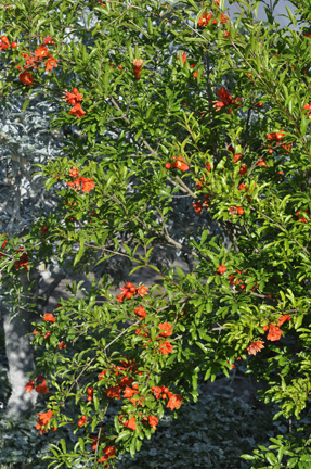 Pomegranate Salavatski Blooms and Bush