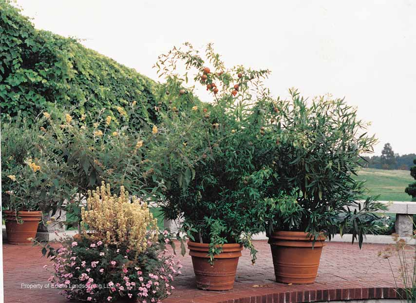 Pomegranates in pots