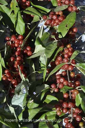 Autumn Olive Red Fruit