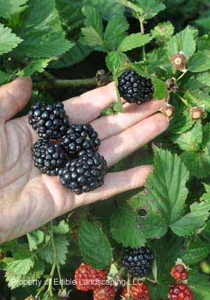 Blackberry Kiowa berries in hand