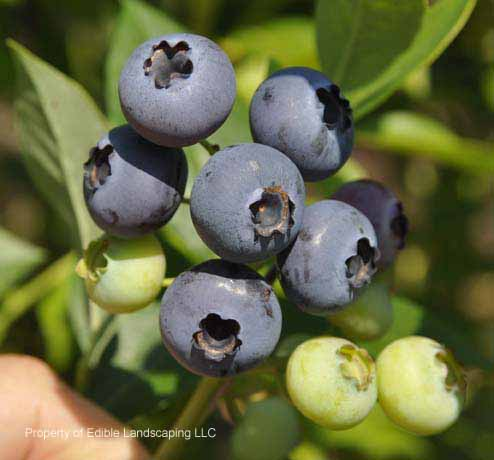 Blueberry Columbus fruit