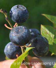 Blueberry Legacy fruit