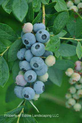 Blueberry Powderblue fruit