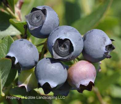 Blueberry Star Large Calax