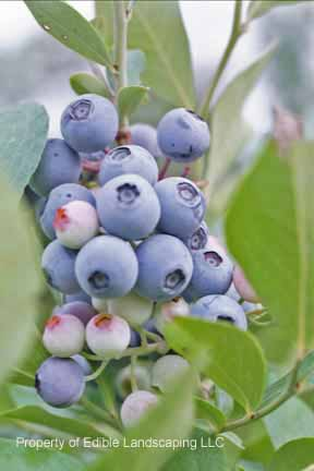 Blueberry Tifblue Fruit On Plant