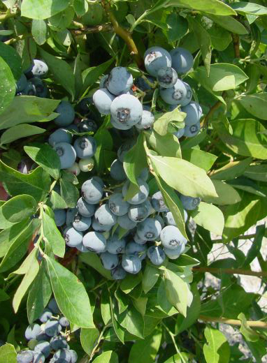 Blueberry Ochlockonee Fruit
