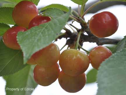 Cherry Ranier Fruit