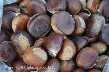 Chestnut Dunstan Nuts