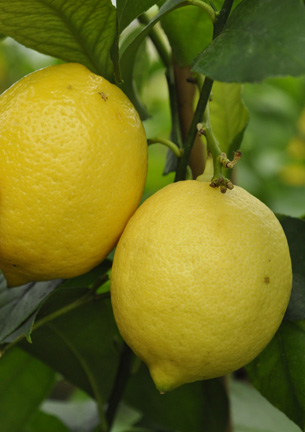 Citrus Lisbon Lemon
