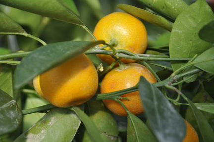 Citrus Calamondin Orange