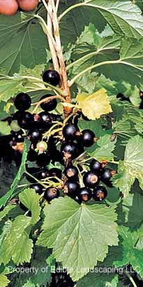 Currant Consort Fruit