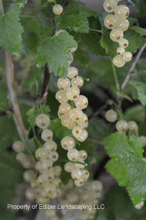 Currant Blanca White Currant Fruits