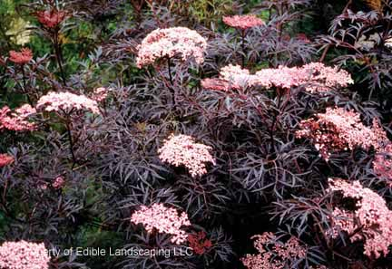 Elderberry Black Lace Bloom