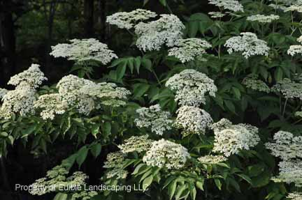 Elderberry Johns in bloom