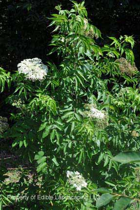 Elderberry Nova Bush