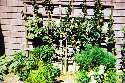 Espalier Apple on Trellis
