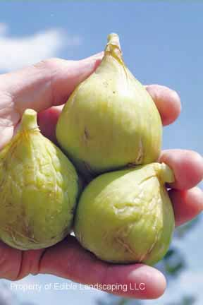 Fig Conadria 3 fruits
