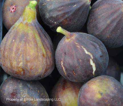 Fig Hardy Chicago ripe fruit