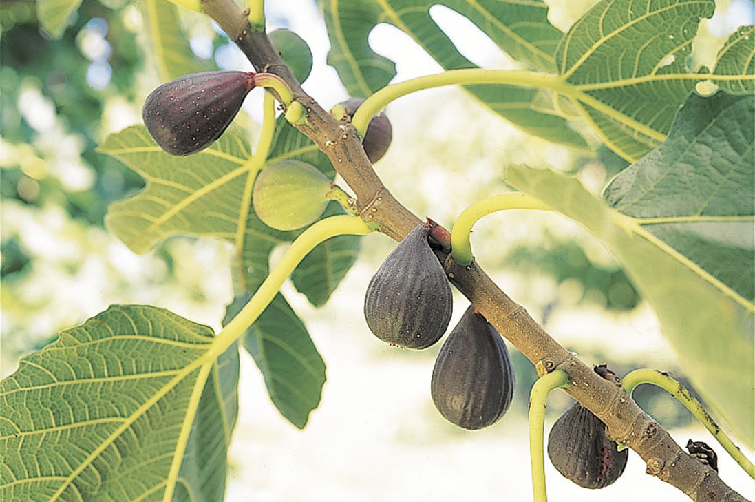 Fig Violet de Bordeaux