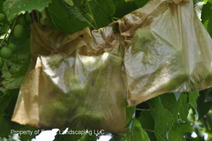 Grape Morteson Cluster Bagged