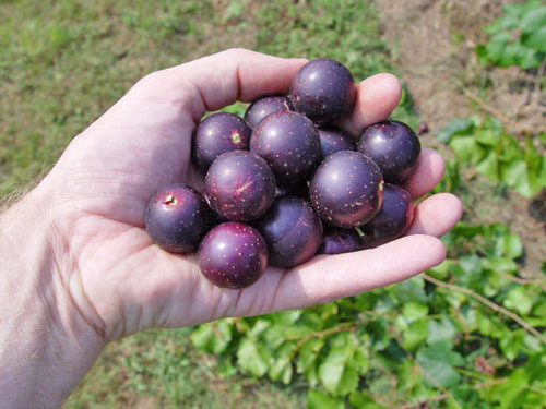 Grape Nesbit Muscadine