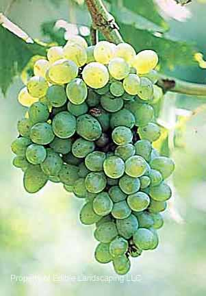 Grape Villard Blanc no border