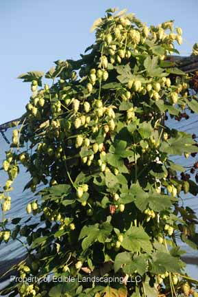 Hops Cascade Top Of Plant