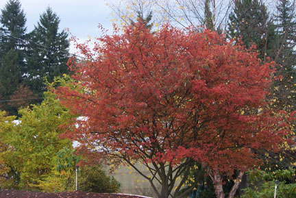 Juneberry Autumn Brilliance red
