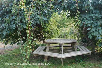 Kiwi Meader Male  over picnic table