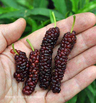 Mulberry Pakistan Fruit In Hand