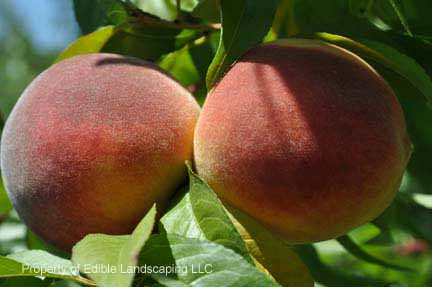 Peach Red Haven fruit