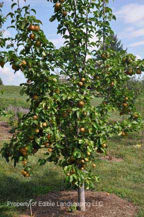 Asian pear dwarf fruit tree