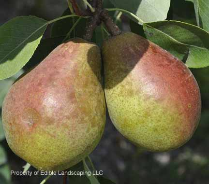 Pear Magness 2011