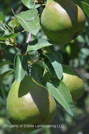 Pear Potomac fruit