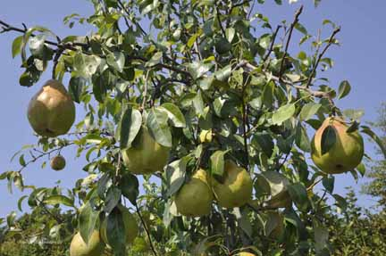 Pear Shenandoah  Tree with Fruits