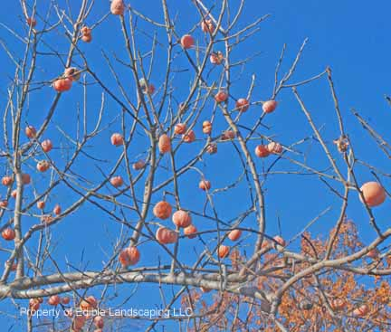 Persimmon Ruby Fruits on Tree
