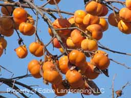 Persimmon Great Wall  Fruit on Tree