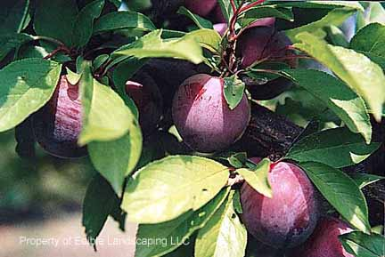 Plum Aycock Fruit