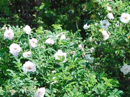 Rose Snow Border Rose