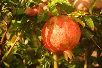 Pomegranate Russian Fruit On Plant