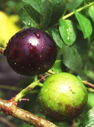 Tropical Jaboticaba