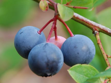 Blueberry Yadkin Fruit Closeup