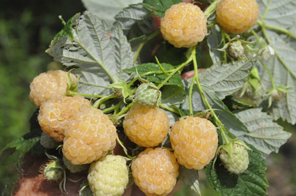 Anne Yellow Everbearing Raspberry Edible Landscaping