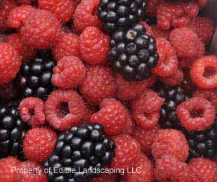 Raspberry english thornless fruit