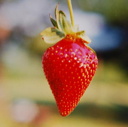 Strawberry Sweet Charlie Fruit On Plant